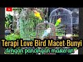 Terapi Love Bird Macet Dengan Masteranlove Bird Belajar Ngekek  Mp3 - Mp4 Download