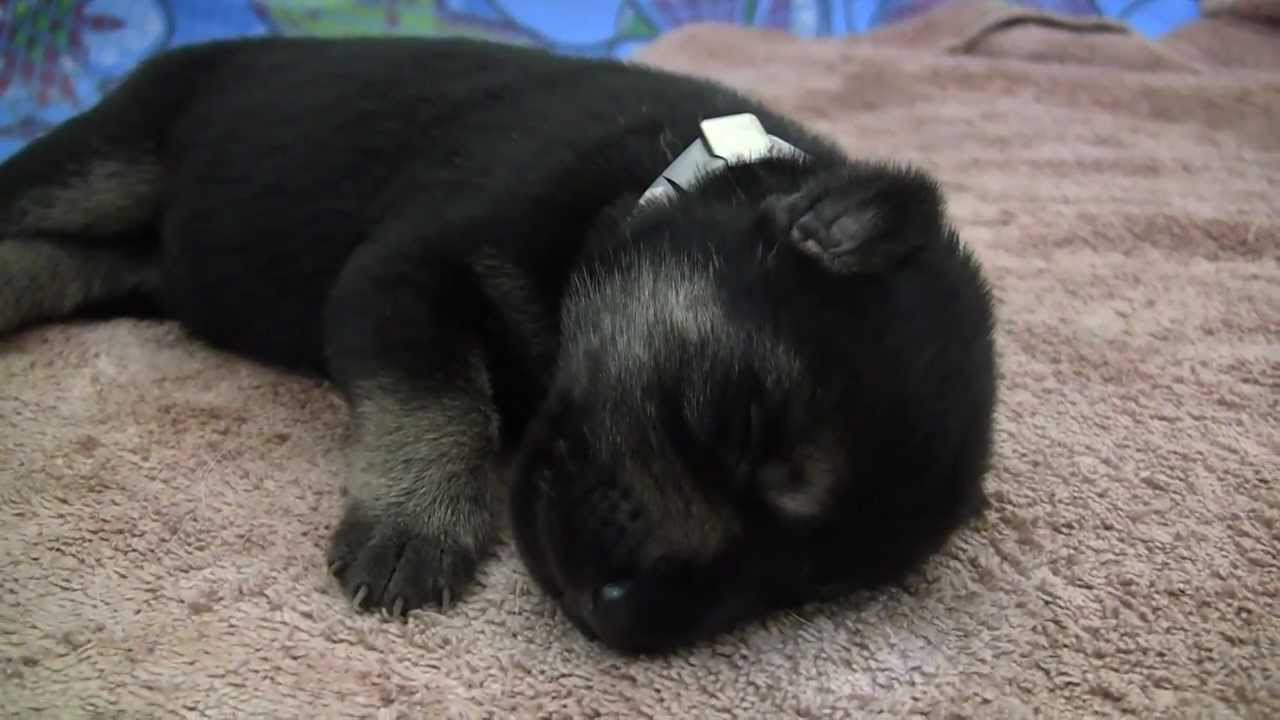 Six Day Old German Shepherd Puppies At The Seeing Eye Youtube