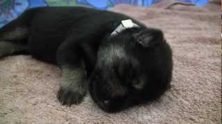 Six-day-old German Shepherd Puppies At The Seeing Eye