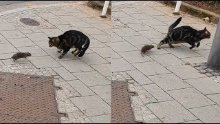 Mouse chasing Cat - Tom and Jerry in Real Life