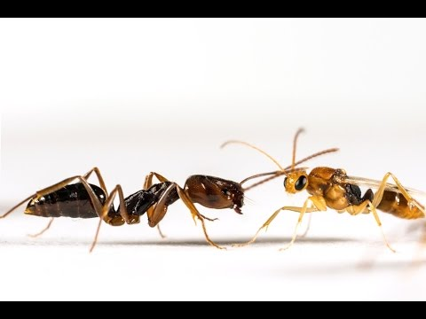 Ant Behavior: Tales to Astonish! - Science Cafe