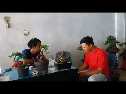 Wawancara tentang bonsai bengkulu