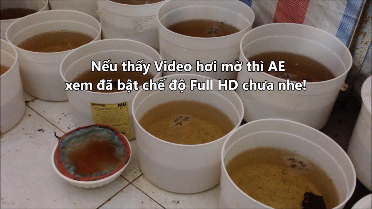 Cách cho cá con ăn Artemia   Thức ăn cá con mới nở   BETTA COFFY. LH: 094.3300.365