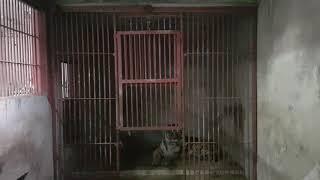 춘천 육림랜드 호랑이  대호는 온돌방에서 휴식중