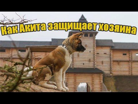 2 мар 2018. Собаки породы акита-ину довольно крупные. Высота в холке у. Щенки акита-ину в москве стоят от 80 тысяч рублей. Собака породы.