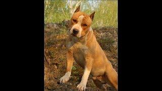 Самая стрёмная порода собак,  Американский Стаффордширский Терьер