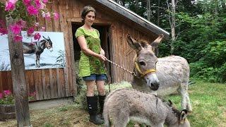 Les ânes : rituels de soin