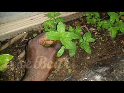 Recycling A Coconut Tree Trunk | Growing Mint Plants
