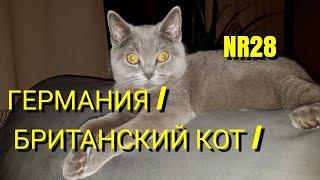 ГЕРМАНИЯ/ БРИТАНСКИЙ КОТ/ КОТ ДЕЛАЕТ МАССАЖ