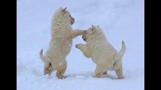 札幌市内の石田倫康さん(45)宅で、昨年11月に天然記念物の北海道犬の赤...