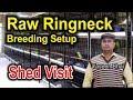 Indian Ringneck | Raw Parrots Breeder Setup Visit | Yaseen Bhai Ka Shed | Most Expensive Parrots