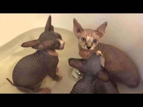 Silly Sphynx Kittens Jumping in the Bath
