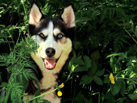 Dog Series: When my Husky is shocked by my amazing magic trick