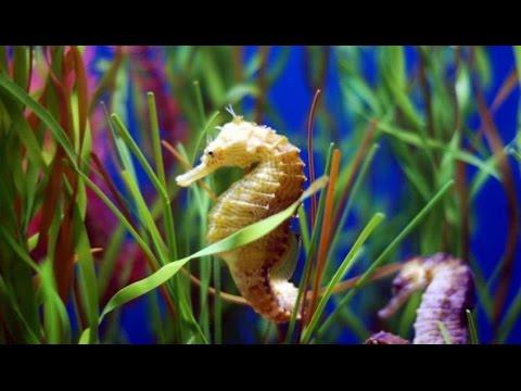 Il parto del cavalluccio marino maschio youtube for Immagini cavalluccio marino