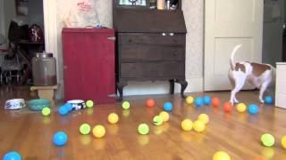 Собака и много мячиков