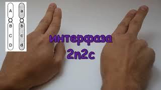 ШкольнаяБио: Повторить митоз-мейоз на пальцах