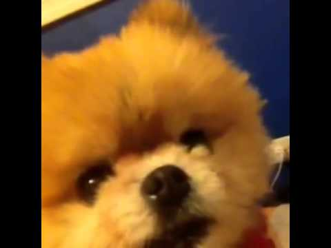 little dog barks and growls when heard get her   youtube