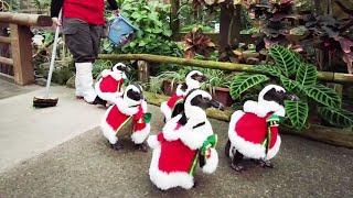 ペンギンのお散歩 松江フォーゲルパーク かわいいケープペンギンたちサンタの衣装でがお尻フリフリ、みんなと一緒にお散歩します