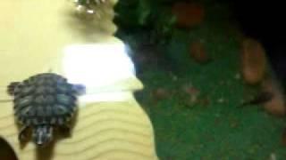 inserimento nuova trachemys scripta scripta baby in acquario