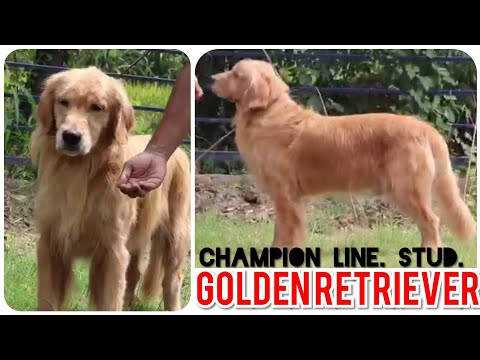 awesome-showline-golden-retriever-adult-male-proven-stud-for-sale-(kci-registered)