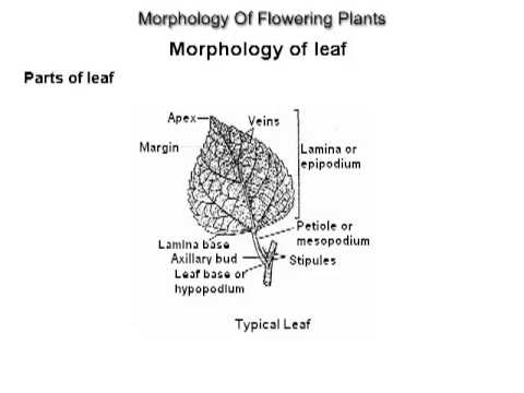 XI - Biology - Morphology Of Flowering Plants