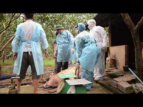 Hò Dô Khiêng Lợn Khủng đi Tiêu Hủy (kill African Swine Fever Virus In Ha Noi P3)