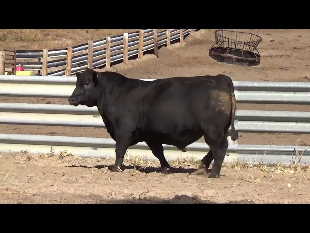 Connealy Angus Lot 17