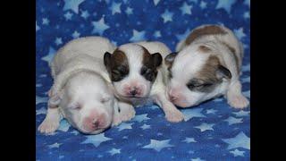Coton Puppies For Sale - Eliza 9/30/20