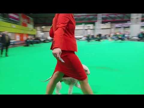 Crufts 2019 - Bedlington Terrier - Veteran Dog