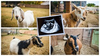 finding-out-how-many-babies-each-mama-will-have-this-year-goat-ultrasound