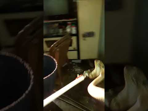 Cobra on Bed at Jalpaiguri