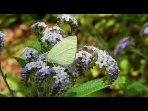 Lepidoptera of the Botanic Gardens