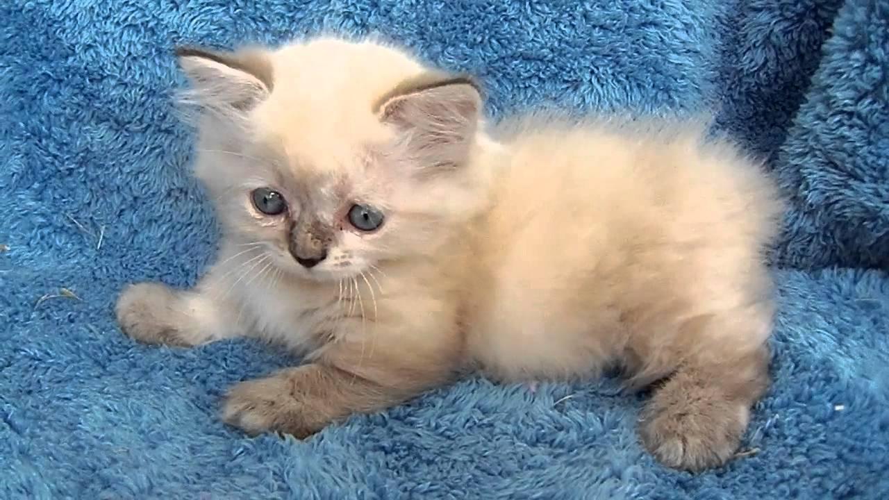 Nancy s Himalayan Munchkin Manx kitten