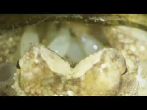 Octopus ocellatus tending her eggs