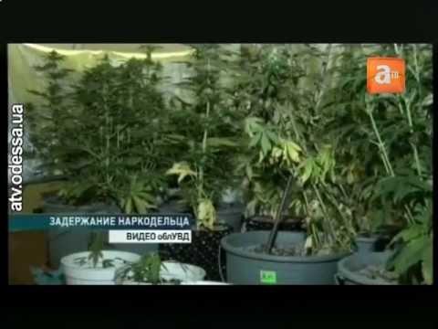 Вырастить марихуану самому где растить коноплю