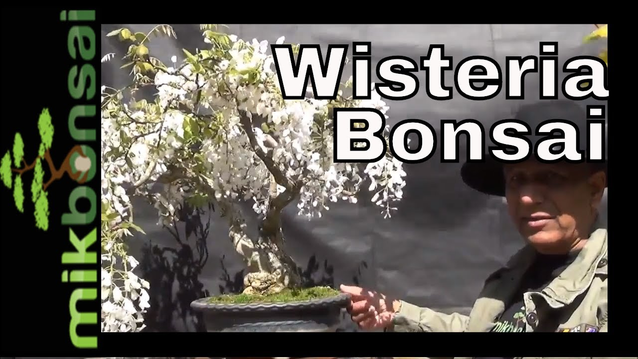 Japanese Wisteria Bonsai Update Part 2 Youtube