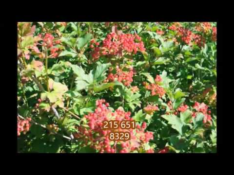 About    American Cranberrybush Viburnum Trilobum