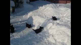Скотч-терьеры на зимней прогулке. Scotty Pups.