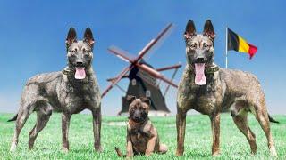 THE 10 BELGIAN DOG BREEDS