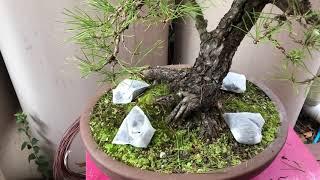 How to fertilise bonsai using tea bags