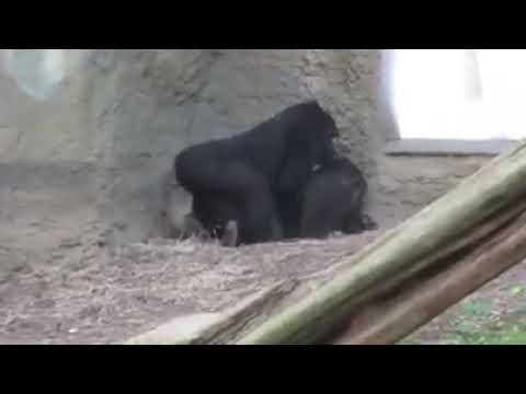 gorillas mating hard like human from YouTube · Duration:  31 seconds