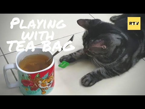 Omok (the American Shorthair) Playing with the Tea Bag