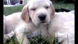 Labrador Retriever Pointer Puppy Scratches Ear And Falls Asleep