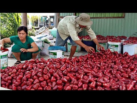 Asian Fruit Agriculture Farm Processing and Harvesting #20 - Rose Apple Bell Fruit Harvest