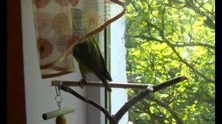 Сенегальский попугай Сеня