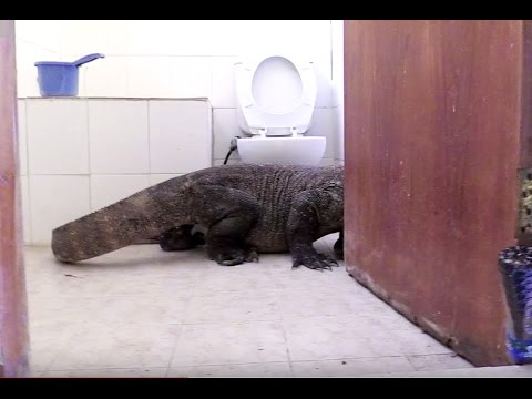 Komodo Dragon In Bathroom! - Planet Earth II