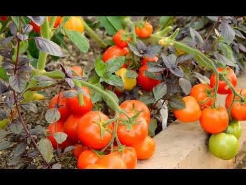 Вопрос: Какие характеристики томата Безумие Касади Что за сорт?