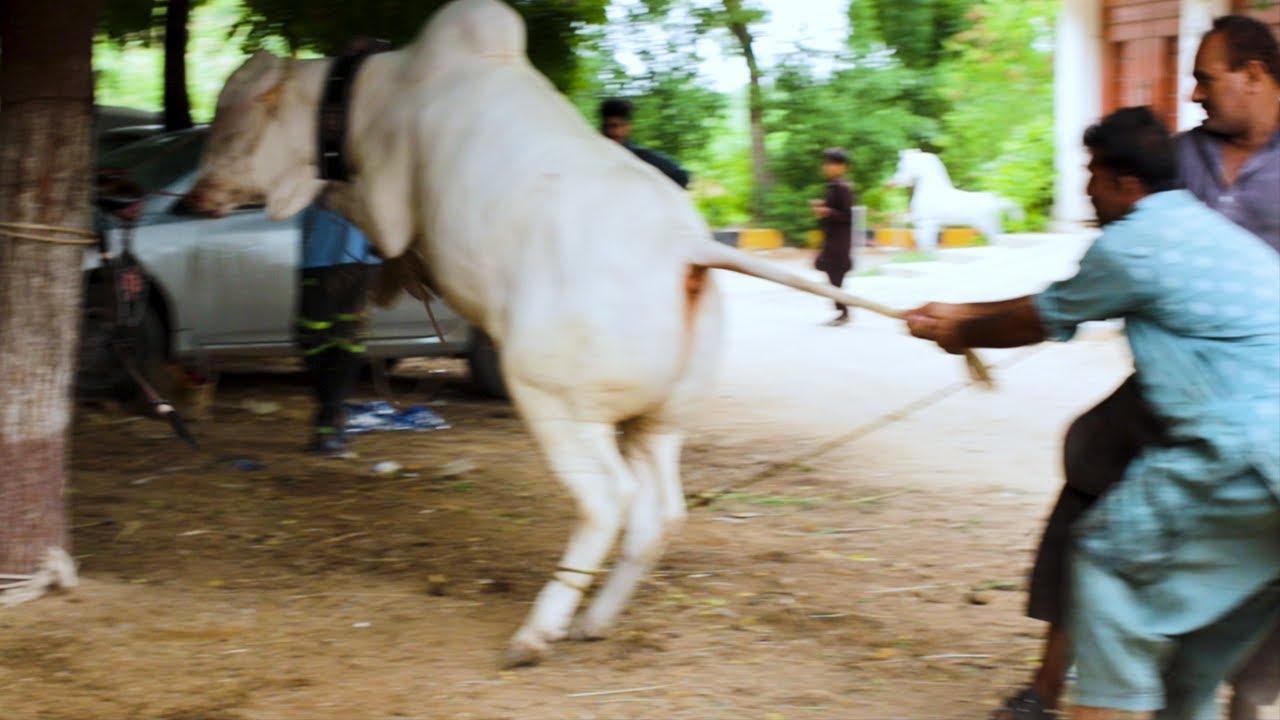 ANMOL Ki Qurbani | Video 01 Filmed by DSLR Camera Canon M50 | Bakra Eid 2021 | Cattle Market Karachi