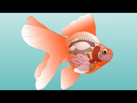 Goldfish Anatomy - External & Internal