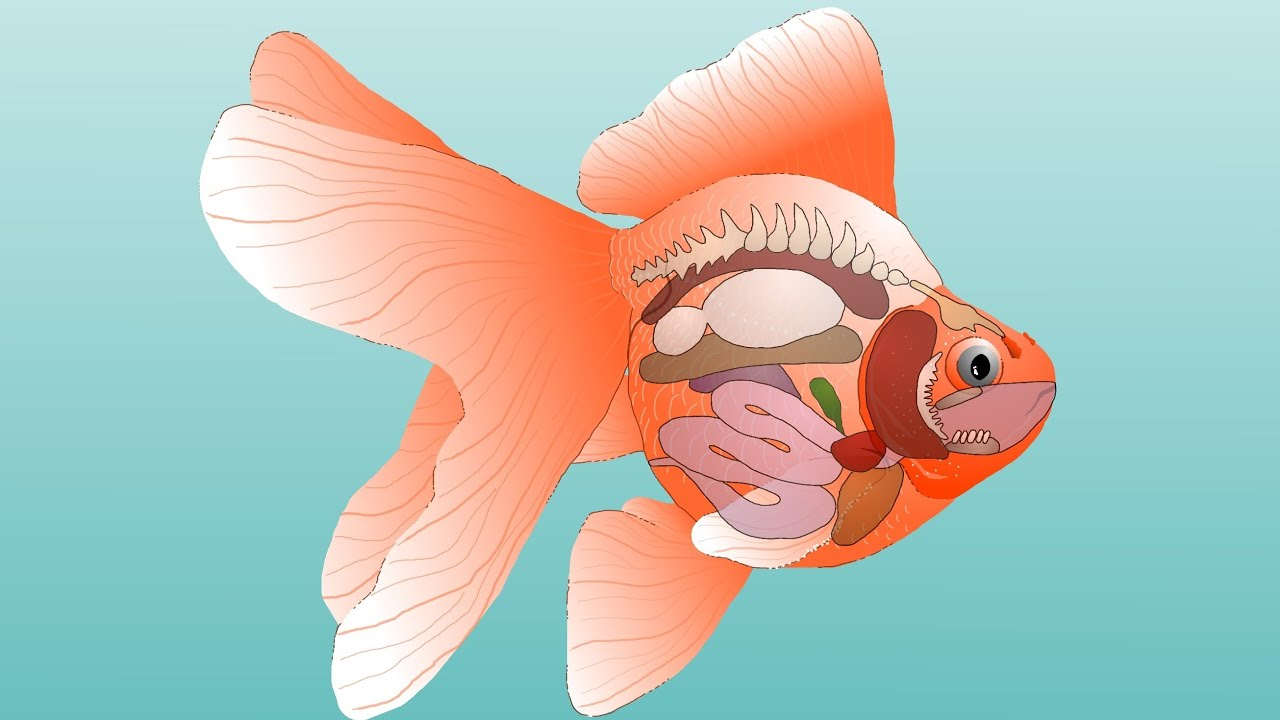 hight resolution of goldfish anatomy external internal